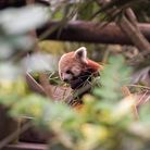 The Red Panda enclosure at Colchester Zoo