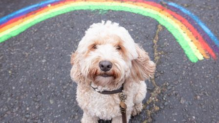 Dudley the cockapoo sits on a rainbow that has been painted on the road during lockdown.