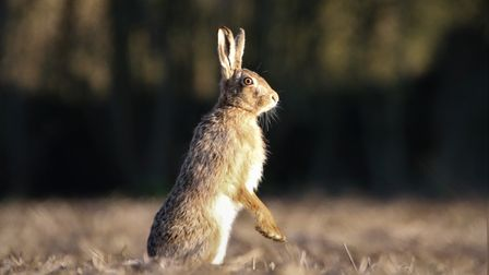 A brown hare at Capel St Mary, Suffolk