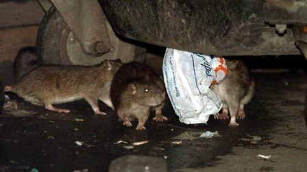 Rats in the Victoria area of central London. According to one expert, the recent cold weather and f