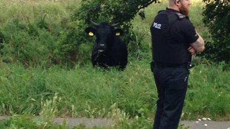 The escaped bull, which shut Hellesdon Road for more than three hours. Picture: Megan Smith.