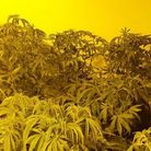 Cannabis at house in Burwell