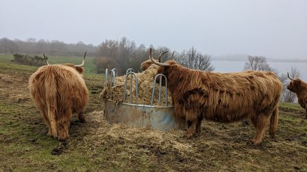 Highland cows at Alton Water in Suffolk