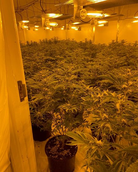 The cannabis plants were found growing in a disused building in Colchester.