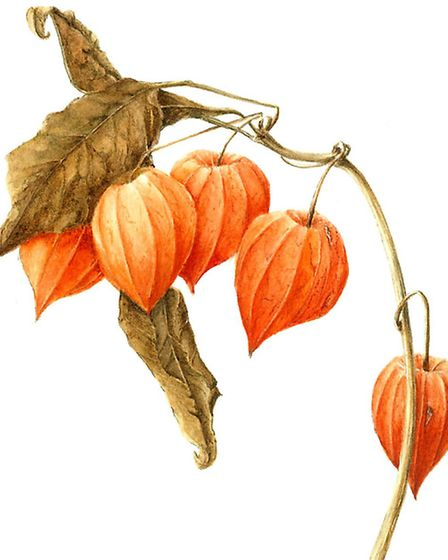 This floral study, entitled Physalis showing Chinese Lanterns grown for their decorative qualities
