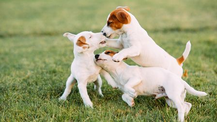 Three Jack Russell puppies play on the grass at lawn.