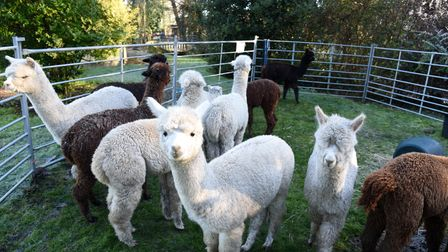 The Hilly Ridge alpacas could be joining your next Zoom call