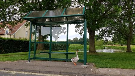 Gordon the goose, was often spotted 'guarding' the bus stop in Nayland.