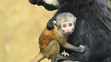 Casey the l'hoest's monkey (also known as a mountain monkey) gives birth to new-born at Colchester Zoo.