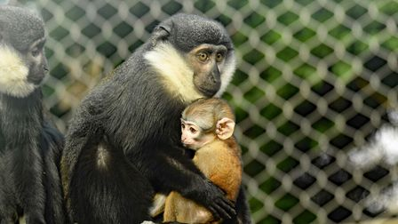 L'hoest's monkeys mum Casey and dad Kane have welcomed a new arrival at Colchester Zoo.