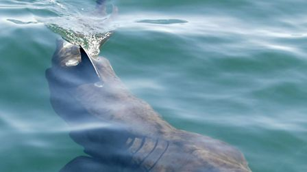 A basking shark, which John Tully may have spotted off Great Yarmouth. PRESS ASSOCIATION photo.