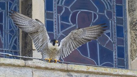 People will soon be able to keep a birds-eye view on Ely Cathedral's resident Peregrine falcons thanks to a new webcam.