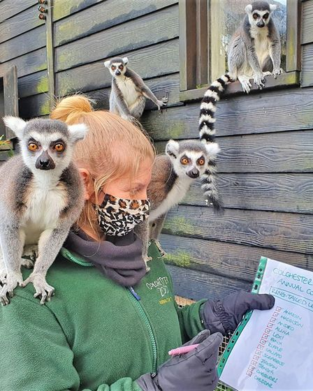 One of zookeepers counting the lemurs at Colchester Zoo, for its annual 'big count'.