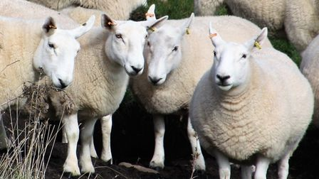 A number of pregnant sheep were left distressed after two dogs were allowed to run among them in Friston