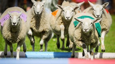 Action from the sheep racing at Beachamwell Village Fete. Picture: Matthew Usher.