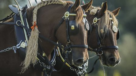 A heavy horses event was held at Gressenhall Museum on Sunday. Picture: Matthew Usher.