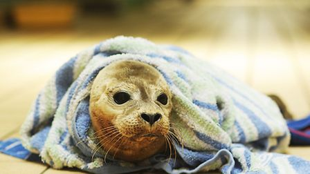 Animal lovers have donated hundreds of towels to help staff at east Winch care for the seals. Pictur
