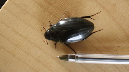 The Great Silver Beetle discovered on Blakeney Point. Picture: AJAY TEGALA