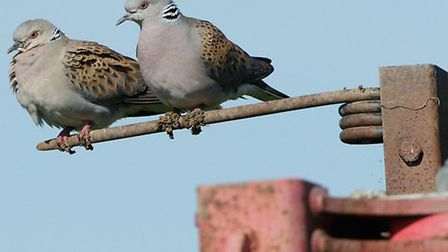 Turtle dove Streptopelia turtur, pair perched on agricultural machinery