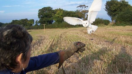 Whisper the barn owl in full flight. The bird went missing during a session with pupils triggering a