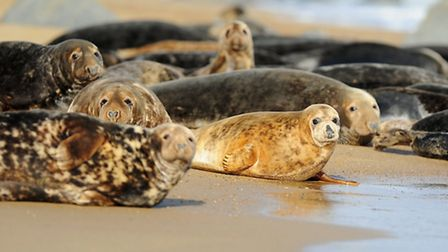 Grey Seals on the beach at Horsey.October 2014Picture: James Bass