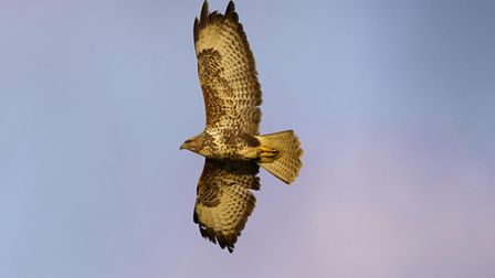 Buzzard Buteo buteo, in flight, UK, March. Picture: Ben Hall (rspb-images.com)