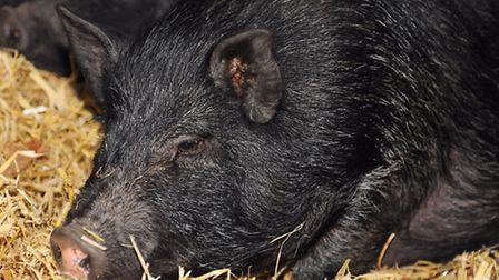 The fifth miniature pig back with the other four of the 'Ringland Five', after being found yesterday