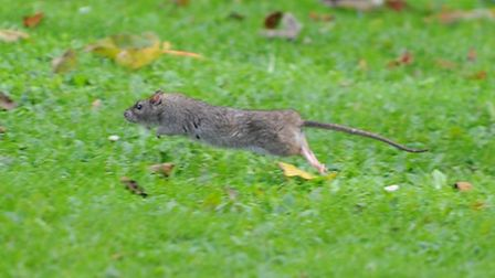Rats are causing problems down by the River and near a cafe In Thetford.Picture by: Sonya Duncan