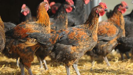 Traditional Norfolk Poultry are launching their new Norfolk Black Chickens into the food service mar