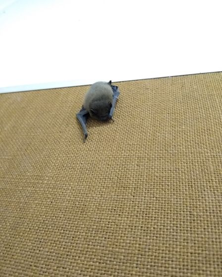 Memo, a common pipistrelle bat, on the noticeboard at Salle Grid, found by Jason Wymer, an electricity substation fitter...