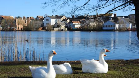 Diss Mere has provided a home for many species of birds, including geese.