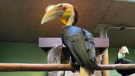 Elvis the Wreathed Hornbill, with Priscilla in the background at Colchester Zoo