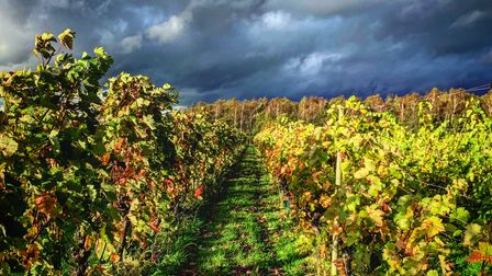 Vines at Dedham Vale Vinyard, one of Suffolk's many wine producers