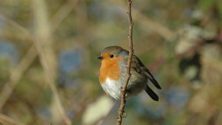 A robin - brilliant birds are an online nature topic