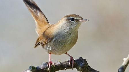 A Cettis warbler is caught on camera at Minsmere Nature Reserve. Picture: Steve Plume