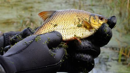A cracking rudd from The Willows.