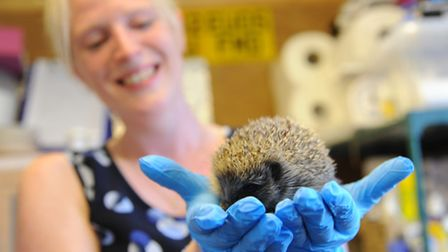 Anne Hunter with one of the hedgehogs she cares for at Waveney Valley Hogspital.