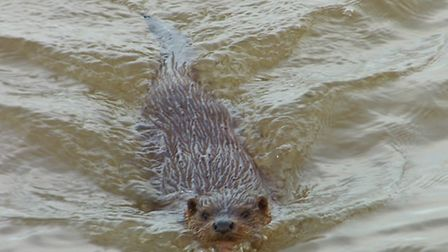 An otter has taken up residence near Breydon Bridge, Great Yarmouth. Photo by Tommy Corcoran.