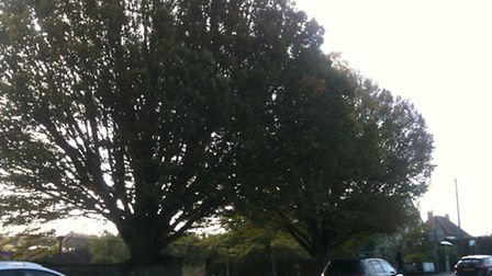 The two hornbeam trees before they were removed. Picture: BARRY HOLDEN