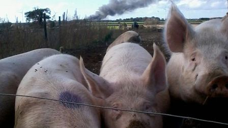 The warehouse fire at North Pickenham is of little concern to these pigs. Picture: Iceni Partnership