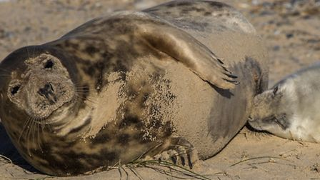 Largest seal colony in England at Blakeney in Norfolk. Picture: Ian Ward