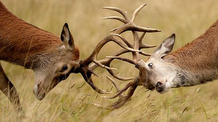 Two young Red deer stags: PICTURE: Andrew Matthews/PA Wire