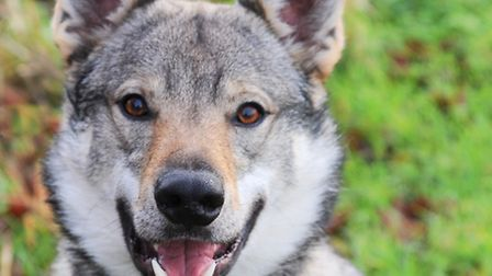 Loki the Czeschoslovakian wolfdog helps to search for missing pets. Picture by: Sonya Duncan