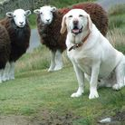 A happy labrador and some sheep Picture: JANE DEVILLE