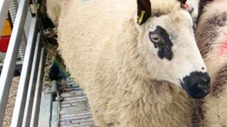 One of the newKerry Hill sheep at Wroxham Barns.