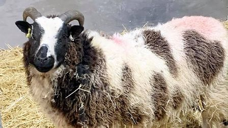 One of the new Jacob sheep at Wroxham Barns.