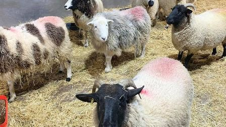 The new pregnant ewes at Wroxham Barns.