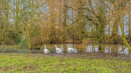 Gaggle of geese grazing next to a pond with a variety of different trees behind them