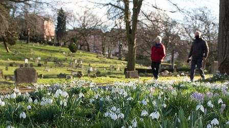 Pockets of snowdrops and crocuses in Ipswich Cemetery. Picture: Sarah Lucy Brown