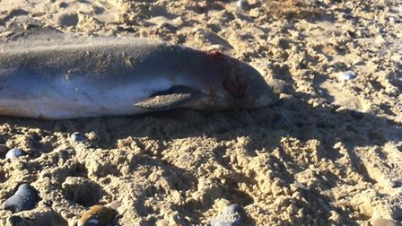 John Dearn's picture of the harbour porpoise that washed up on Great Yarmouth beach. Picture: John D